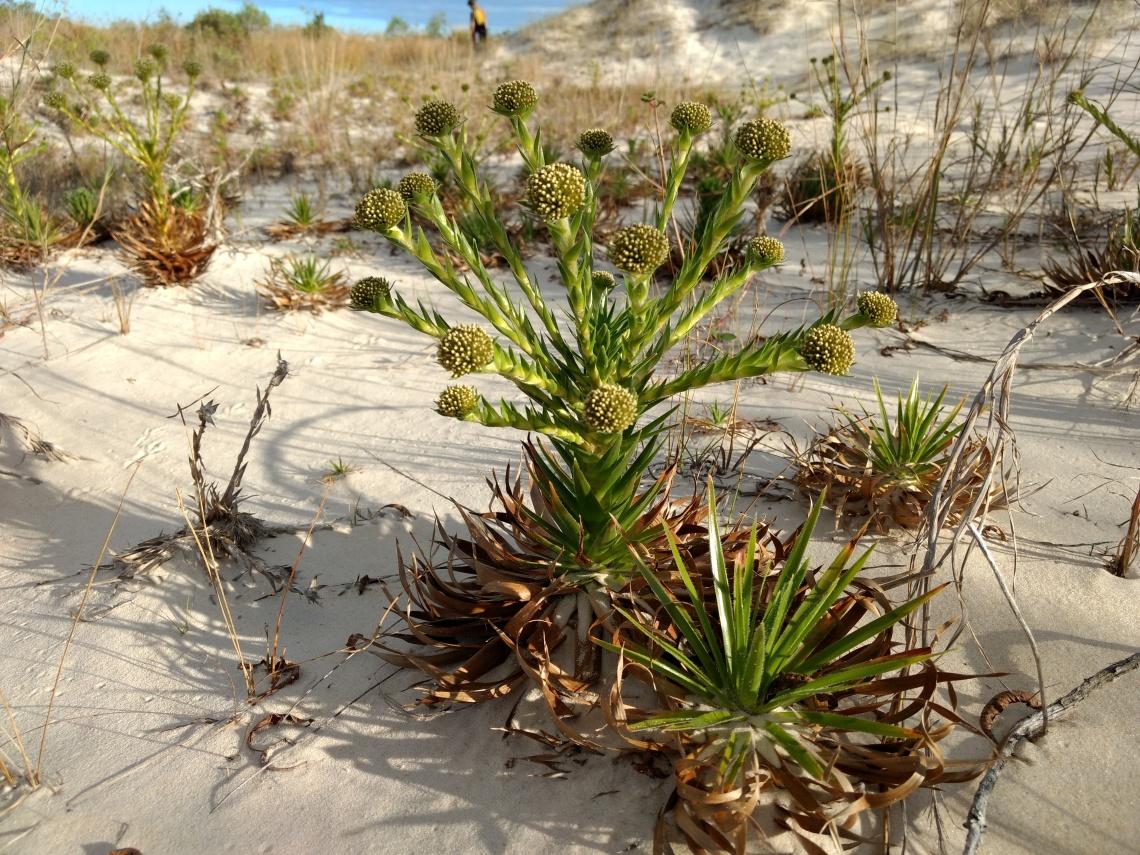 Vegetação das dunas