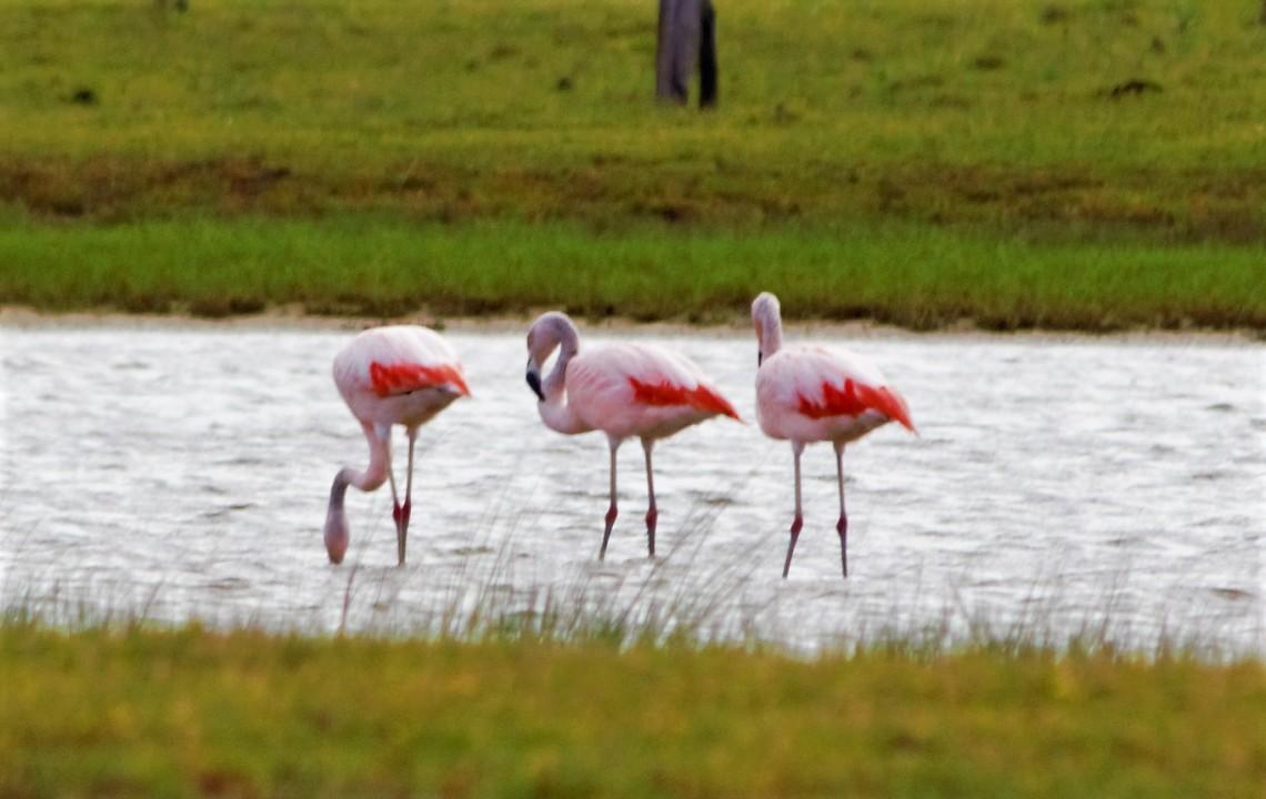 Flamingos 2